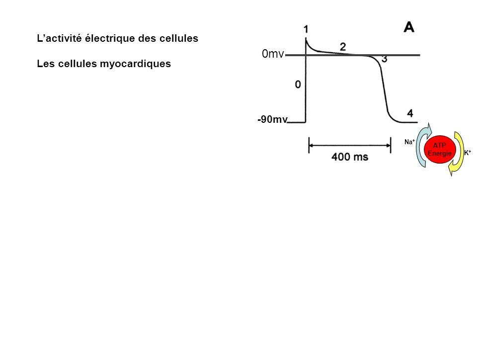 Lactivité électrique des cellules Les cellules myocardiques -90mv 0mv ATP Energie Na + K+K+