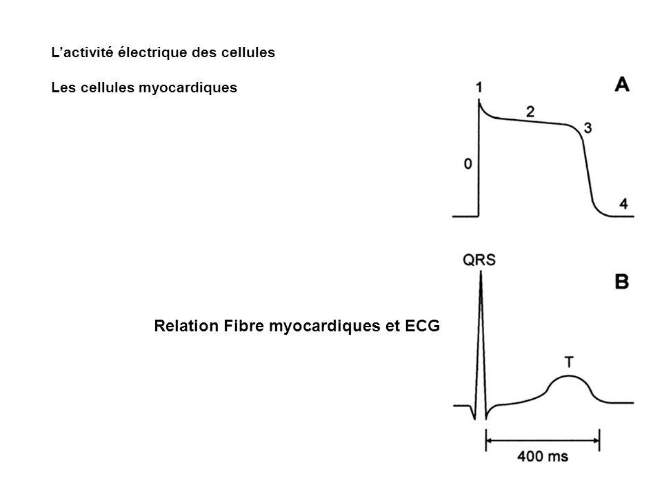 Lactivité électrique des cellules Les cellules myocardiques Relation Fibre myocardiques et ECG