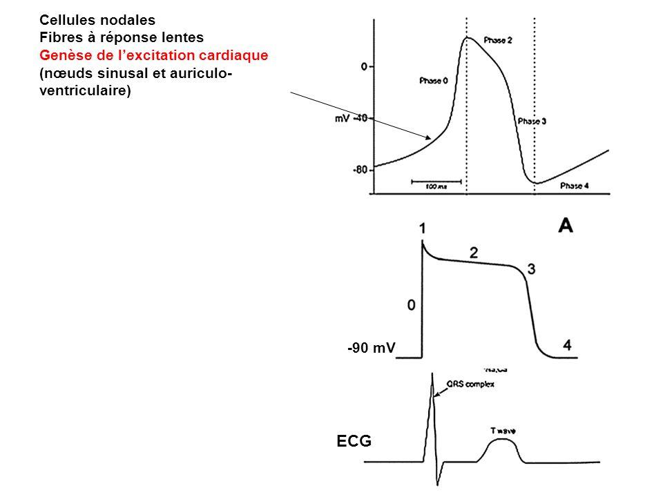 -90 mV ECG Cellules nodales Fibres à réponse lentes Genèse de lexcitation cardiaque (nœuds sinusal et auriculo- ventriculaire)