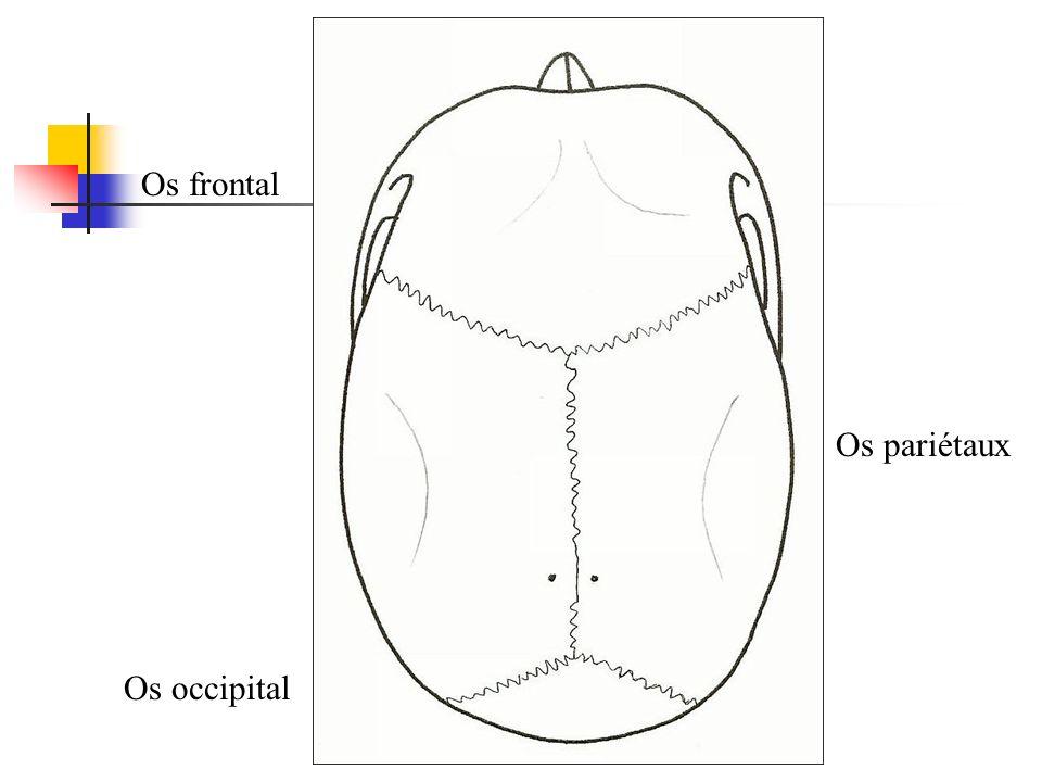 Os frontal Os pariétaux Os occipital