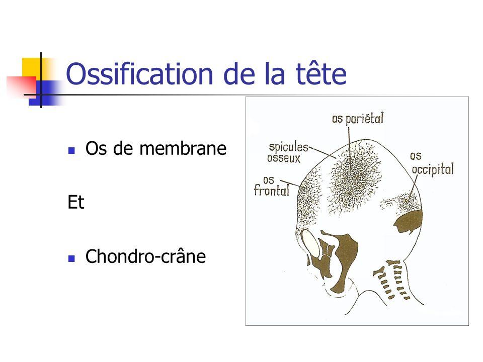 Ossification de la tête Os de membrane Et Chondro-crâne