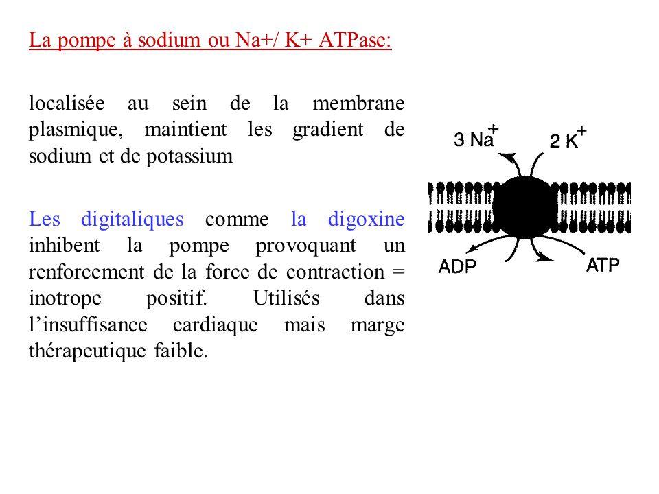 La pompe à sodium ou Na+/ K+ ATPase: localisée au sein de la membrane plasmique, maintient les gradient de sodium et de potassium Les digitaliques com