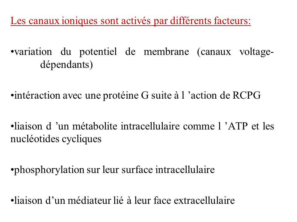 Les canaux ioniques sont activés par différents facteurs: variation du potentiel de membrane (canaux voltage- dépendants) intéraction avec une protéin