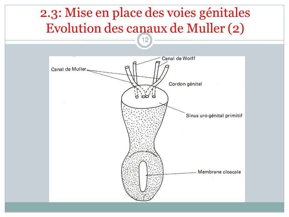 2.3: Mise en place des voies génitales Evolution des canaux de Muller (2) 12