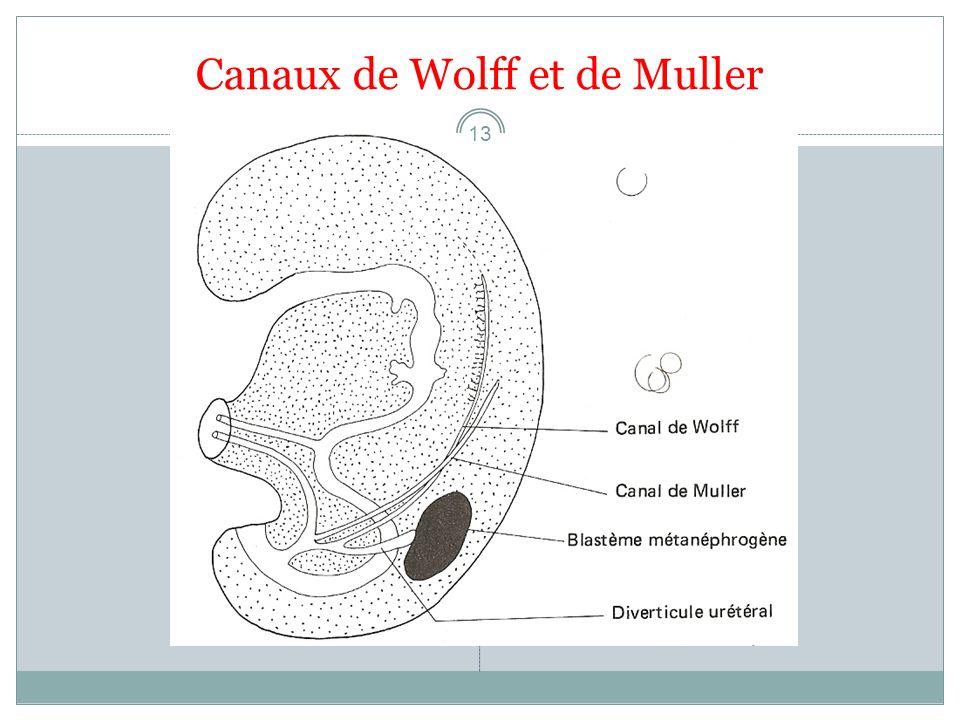 Canaux de Wolff et de Muller 13