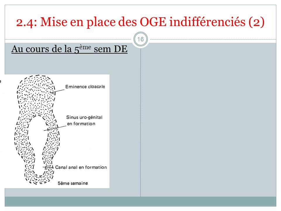 2.4: Mise en place des OGE indifférenciés (2) Au cours de la 5 ème sem DE 16
