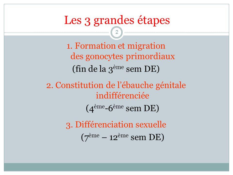 Les 3 grandes étapes 2 1. Formation et migration des gonocytes primordiaux (fin de la 3 ème sem DE) 2. Constitution de lébauche génitale indifférencié