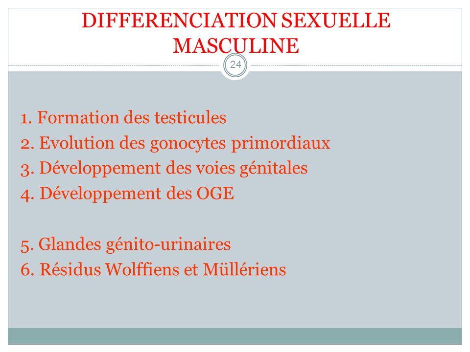 DIFFERENCIATION SEXUELLE MASCULINE 24 1. Formation des testicules 2. Evolution des gonocytes primordiaux 3. Développement des voies génitales 4. Dével