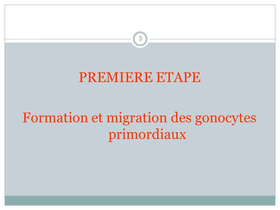 3 PREMIERE ETAPE Formation et migration des gonocytes primordiaux
