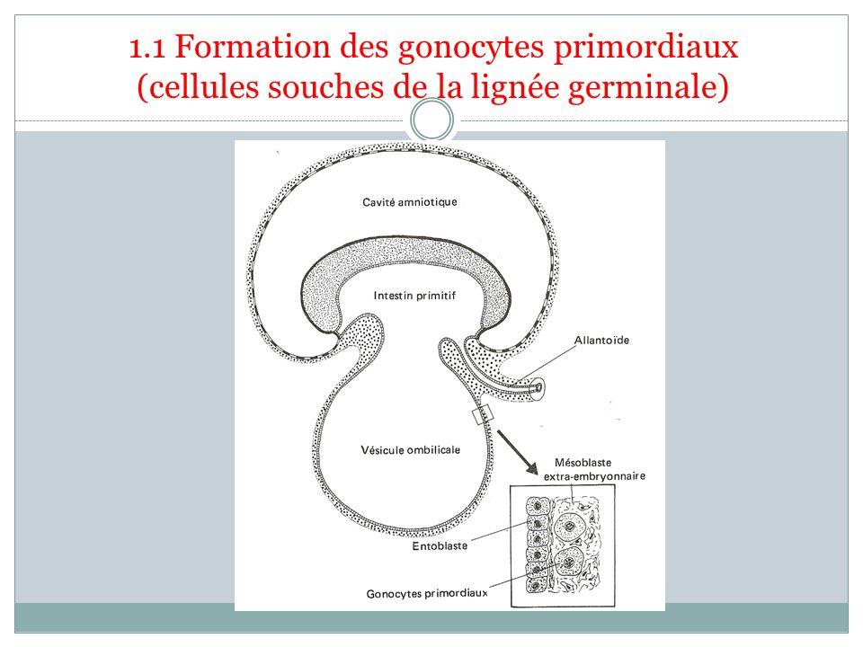 1.1 Formation des gonocytes primordiaux (cellules souches de la lignée germinale)