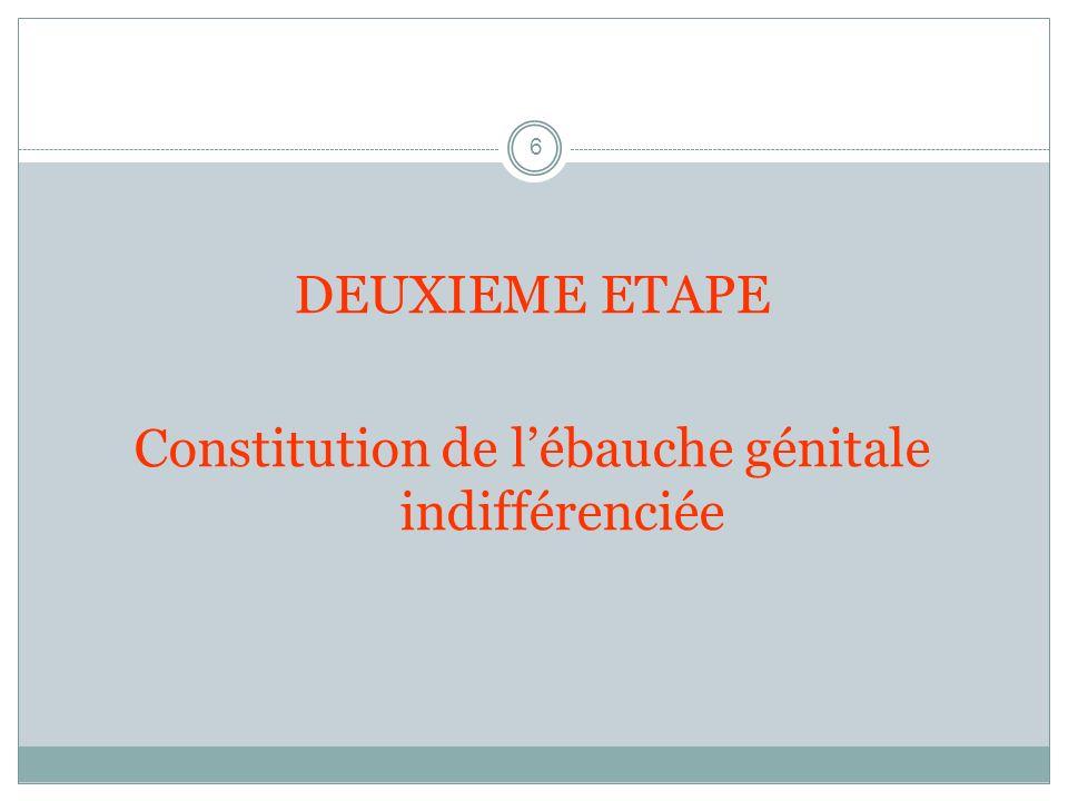 6 DEUXIEME ETAPE Constitution de lébauche génitale indifférenciée