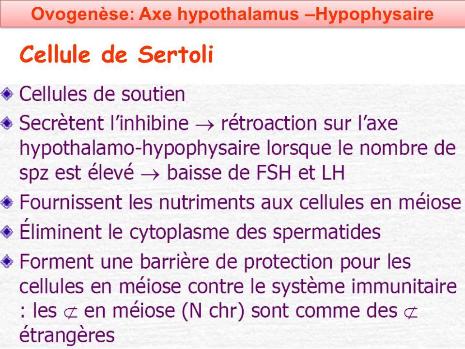 Cellule de Sertoli Ovogenèse: Axe hypothalamus –Hypophysaire