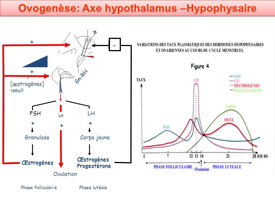 Schéma de synthèse: femme Œstrogènes Granulosa FSH + Œstrogènes Progestérone Corps jaune LH + Ovulation LH + Phase folliculairePhase lutéale - - - + +