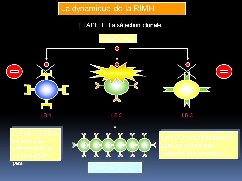 La dynamique de la RIMH ETAPE 1 : La sélection clonale Antigène (Ag) Clone de LB 2 Clone de LB 2 LB 1LB 2LB 3 Le LB 2 est sélectionné puis se divise p