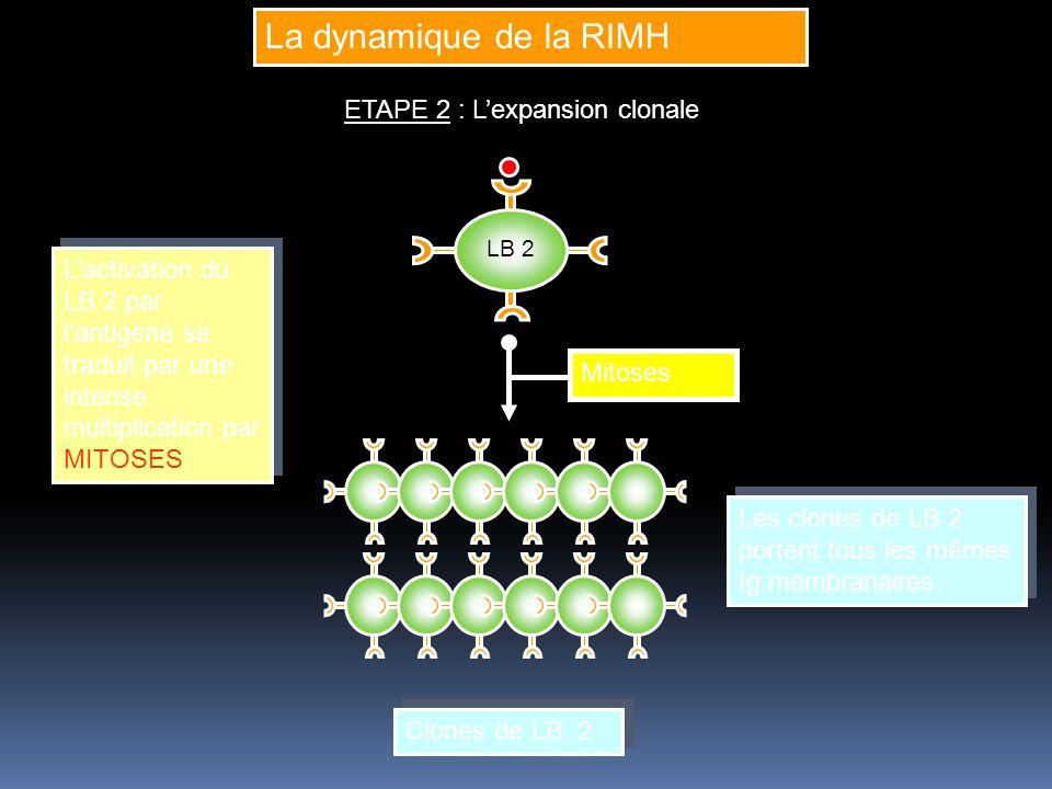 La dynamique de la RIMH ETAPE 2 : Lexpansion clonale LB 2 Lactivation du LB 2 par lantigène se traduit par une intense multiplication par MITOSES.