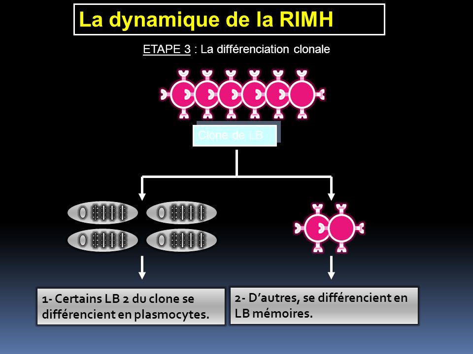 La dynamique de la RIMH ETAPE 3 : La différenciation clonale Clone de LB Clone de LB 1- Certains LB 2 du clone se différencient en plasmocytes. 2- Dau