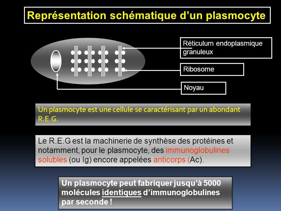 Représentation schématique dun plasmocyte Réticulum endoplasmique granuleux Ribosome Noyau Un plasmocyte est une cellule se caractérisant par un abondant R.E.G.