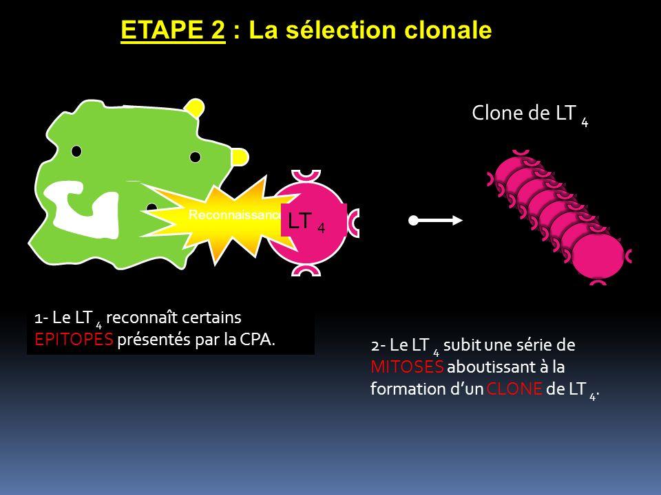 ETAPE 2 : La sélection clonale 1- Le LT 4 reconnaît certains EPITOPES présentés par la CPA. 2- Le LT 4 subit une série de MITOSES aboutissant à la for