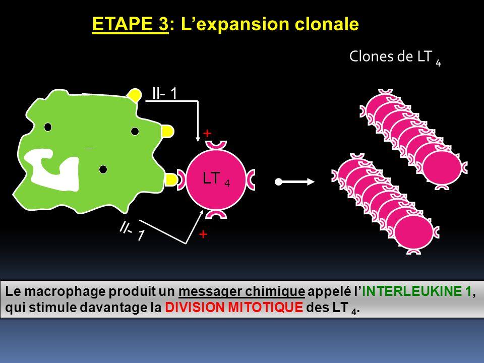 Le macrophage produit un messager chimique appelé lINTERLEUKINE 1,1, qui stimule davantage la DIVISION MITOTIQUE des LT 4.4. + + Il- 1 I l - 1 ETAPE 3