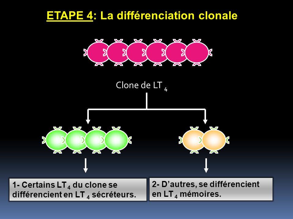 ETAPE 4: La différenciation clonale Clone de LT 4 1- Certains LT 4 du clone se différencient en LT 4 sécréteurs. 2- Dautres, se différencient en LT 4