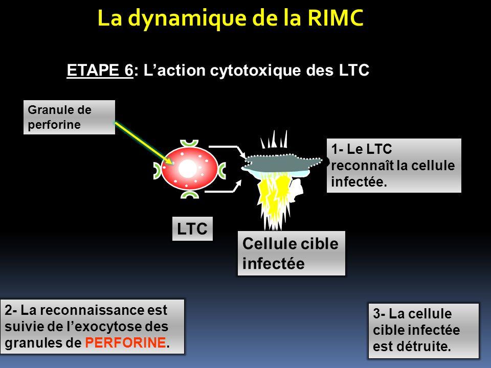La dynamique de la RIMC ETAPE 6: Laction cytotoxique des LTC Cellule cible infectée 1- Le LTC reconnaît la cellule infectée. 2- La reconnaissance est
