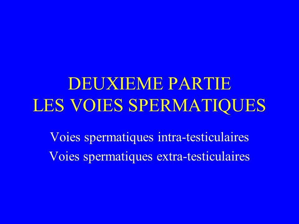 DEUXIEME PARTIE LES VOIES SPERMATIQUES Voies spermatiques intra-testiculaires Voies spermatiques extra-testiculaires