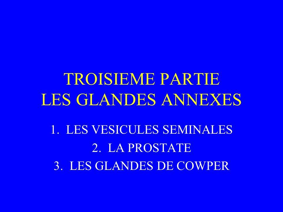 TROISIEME PARTIE LES GLANDES ANNEXES 1.LES VESICULES SEMINALES 2.LA PROSTATE 3.LES GLANDES DE COWPER