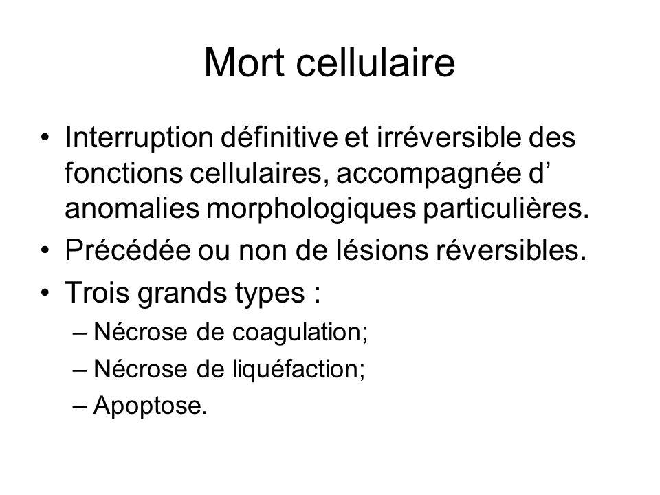 Mort cellulaire Interruption définitive et irréversible des fonctions cellulaires, accompagnée d anomalies morphologiques particulières. Précédée ou n