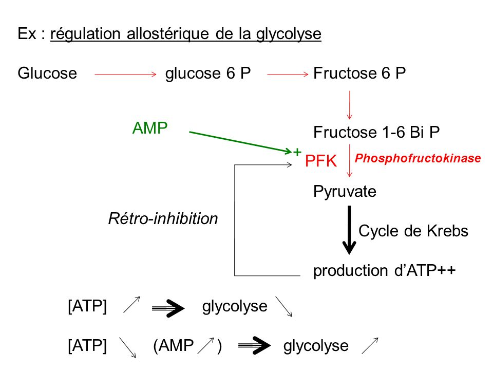 Ex : régulation allostérique de la glycolyse Glucoseglucose 6 PFructose 6 P Fructose 1-6 Bi P Pyruvate production dATP++ PFK Phosphofructokinase Cycle