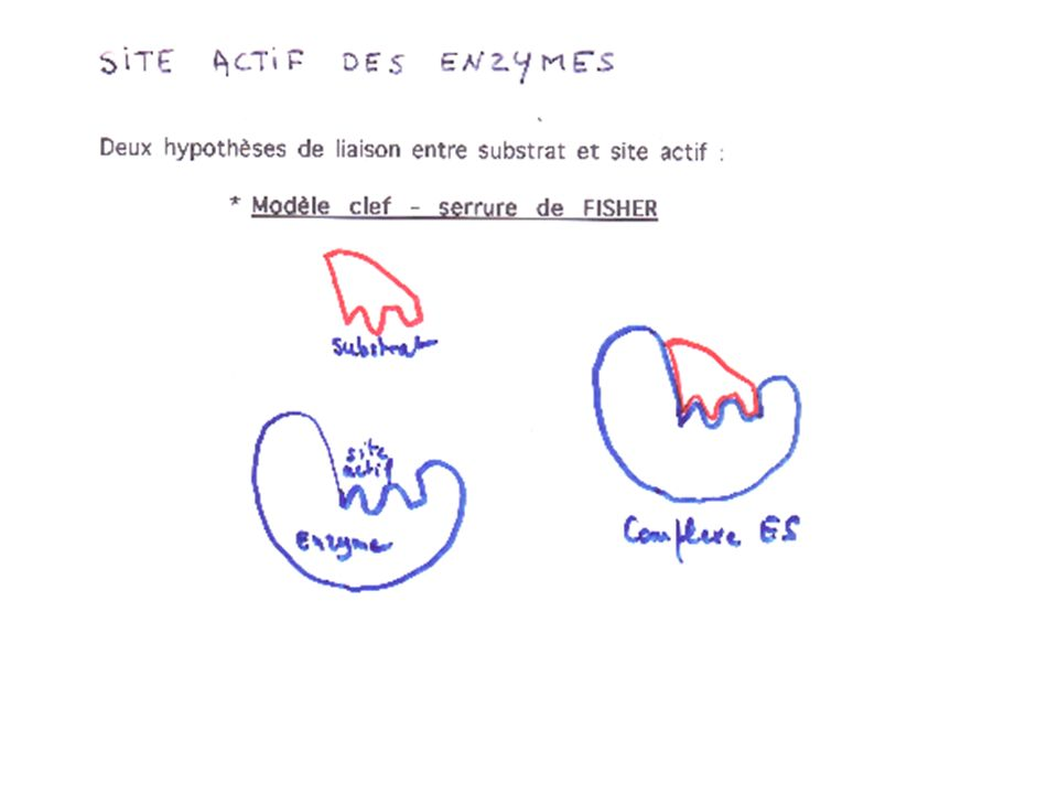 Ex : régulation allostérique de la glycolyse Glucoseglucose 6 PFructose 6 P Fructose 1-6 Bi P Pyruvate production dATP++ PFK Phosphofructokinase Cycle de Krebs Rétro-inhibition AMP + [ATP] glycolyse [ATP] (AMP ) glycolyse
