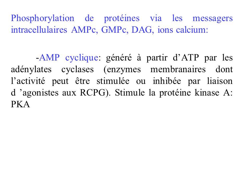 Phosphorylation de protéines via les messagers intracellulaires AMPc, GMPc, DAG, ions calcium: -AMP cyclique: généré à partir dATP par les adénylates