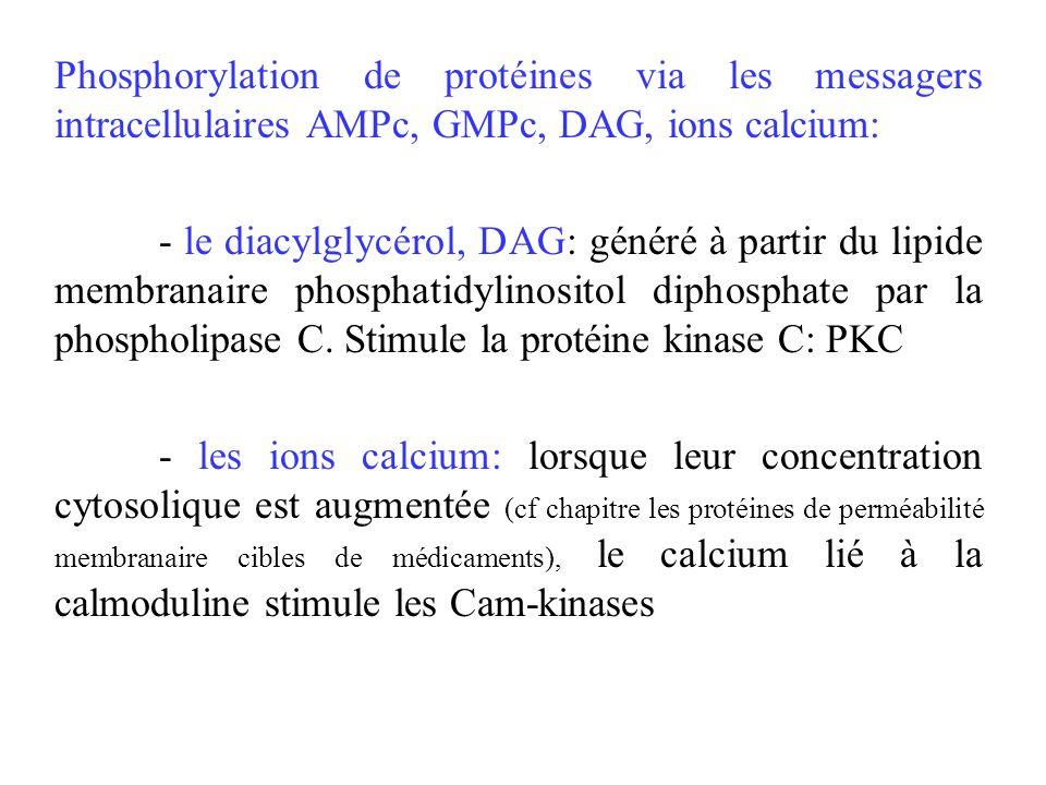 Phosphorylation de protéines via les messagers intracellulaires AMPc, GMPc, DAG, ions calcium: - le diacylglycérol, DAG: généré à partir du lipide mem