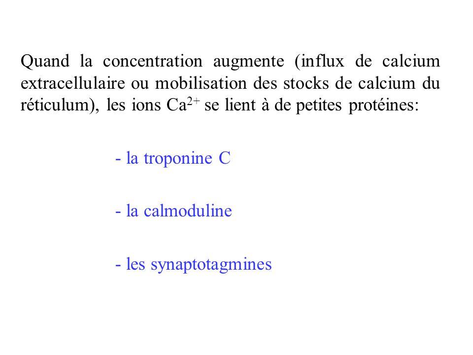 Quand la concentration augmente (influx de calcium extracellulaire ou mobilisation des stocks de calcium du réticulum), les ions Ca 2+ se lient à de p