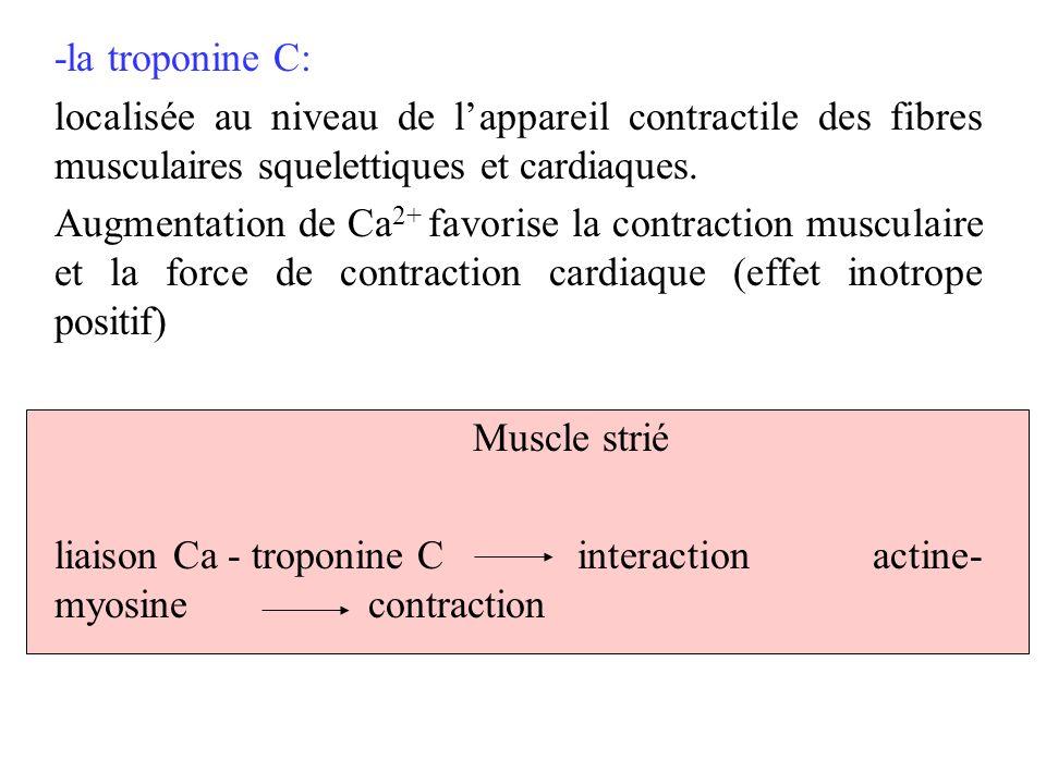 -la troponine C: localisée au niveau de lappareil contractile des fibres musculaires squelettiques et cardiaques. Augmentation de Ca 2+ favorise la co