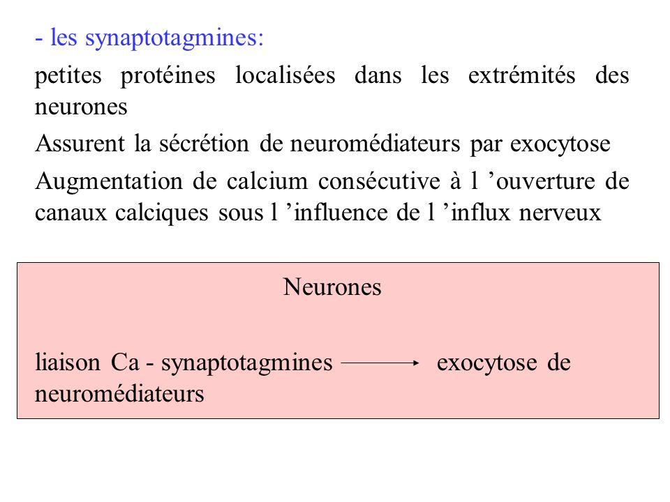 - les synaptotagmines: petites protéines localisées dans les extrémités des neurones Assurent la sécrétion de neuromédiateurs par exocytose Augmentati