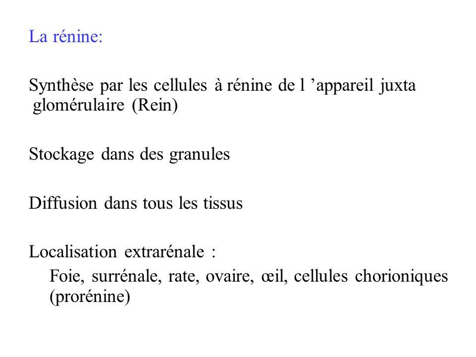 La rénine: Synthèse par les cellules à rénine de l appareil juxta glomérulaire (Rein) Stockage dans des granules Diffusion dans tous les tissus Locali