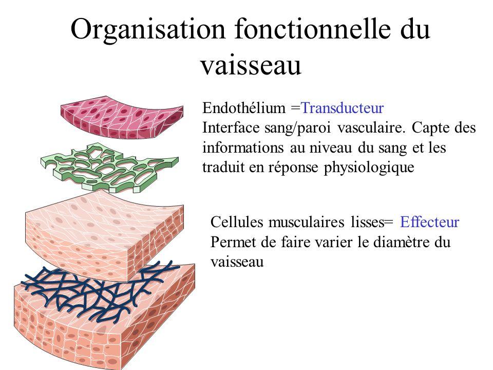 Organisation fonctionnelle du vaisseau Cellules musculaires lisses= Effecteur Permet de faire varier le diamètre du vaisseau Endothélium =Transducteur