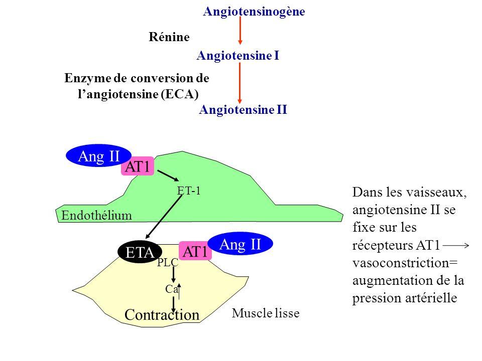 Angiotensinogène Angiotensine I Angiotensine II Rénine Enzyme de conversion de langiotensine (ECA) Dans les vaisseaux, angiotensine II se fixe sur les