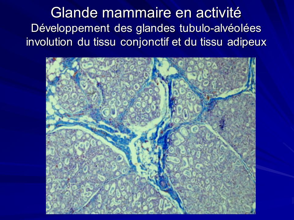Glande mammaire en activité Développement des glandes tubulo-alvéolées involution du tissu conjonctif et du tissu adipeux
