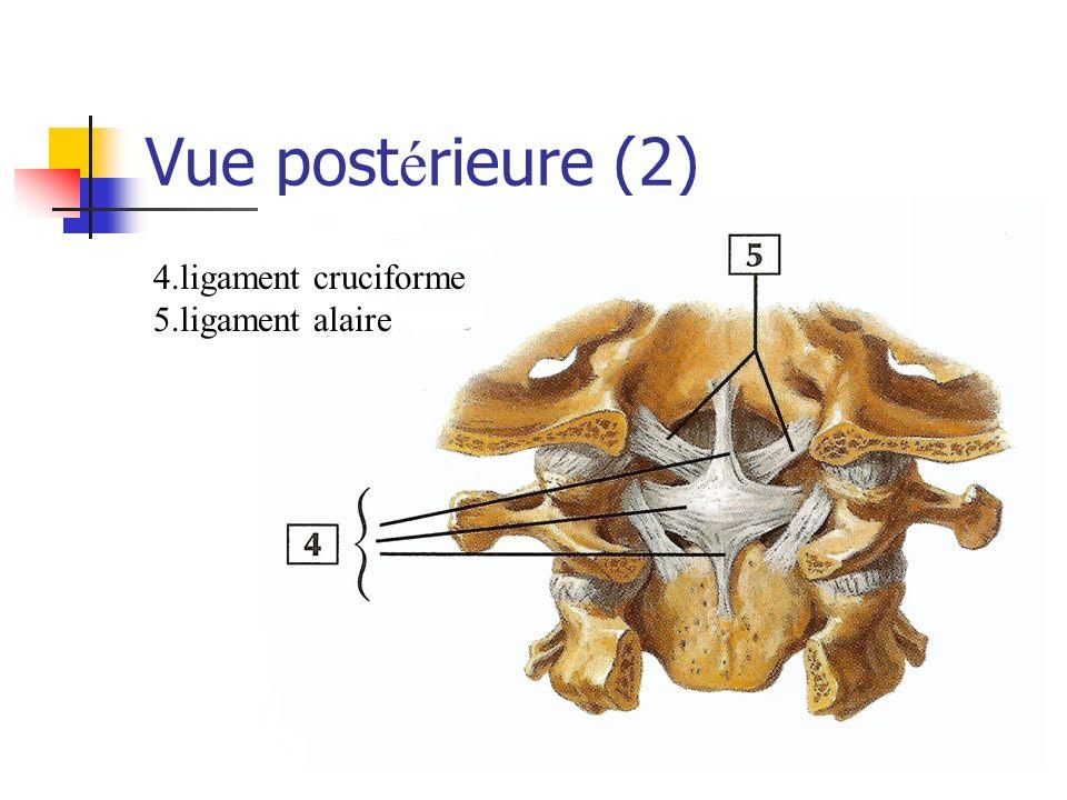 Vue post é rieure (2) 4.ligament cruciforme 5.ligament alaire
