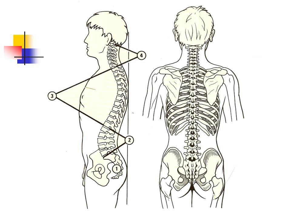 Rôles de la charni è re crânio- rachidienne Jonction tête-rachis cervical Jonction rachis cervical « haut » et rachis cervical « bas » R é partition des pressions