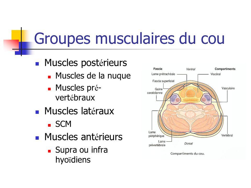 Groupes musculaires du cou Muscles post é rieurs Muscles de la nuque Muscles pr é - vert é braux Muscles lat é raux SCM Muscles ant é rieurs Supra ou infra hyo ï diens