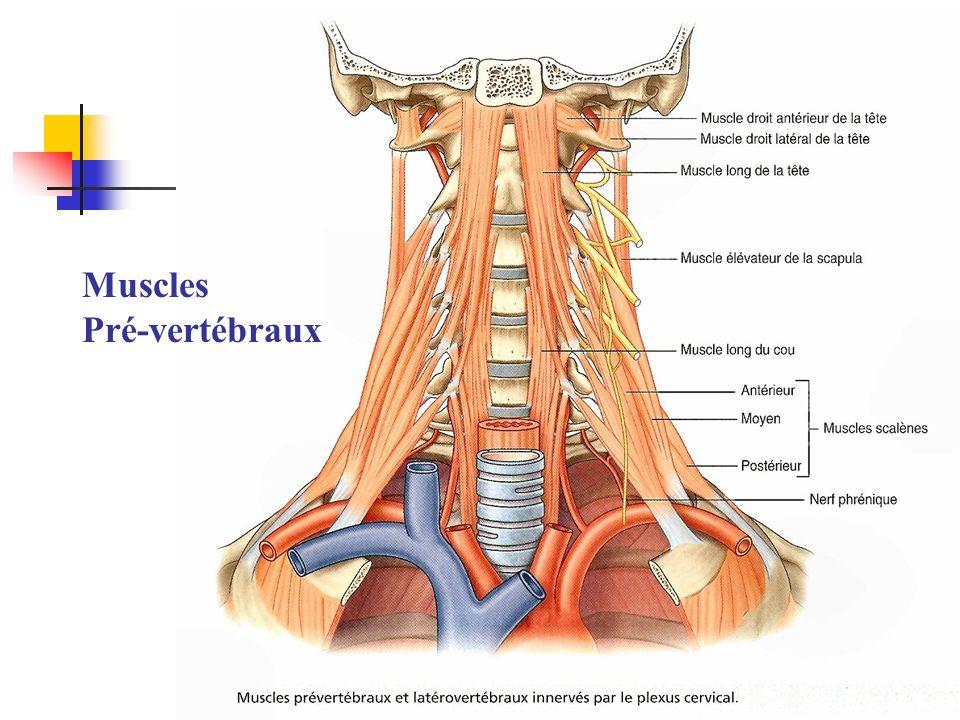Muscles Pré-vertébraux