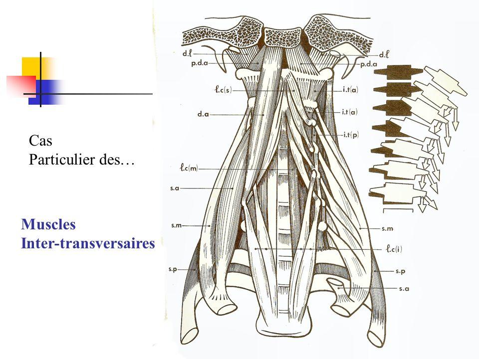 Muscles Inter-transversaires Cas Particulier des…