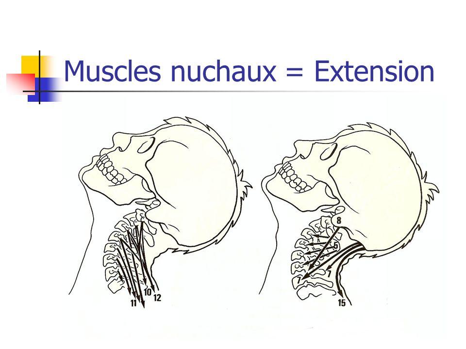 Muscles nuchaux = Extension