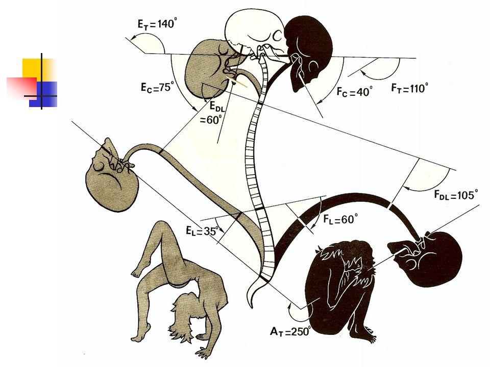 É quilibre de la tête sur le rachis Point d appui Condyle O Centre de gravit é Selle turcique Force d extension F: action des muscles de la nuque