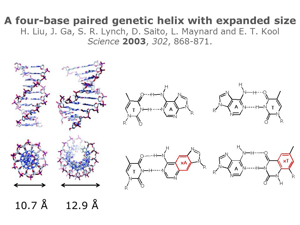 A four-base paired genetic helix with expanded size H.