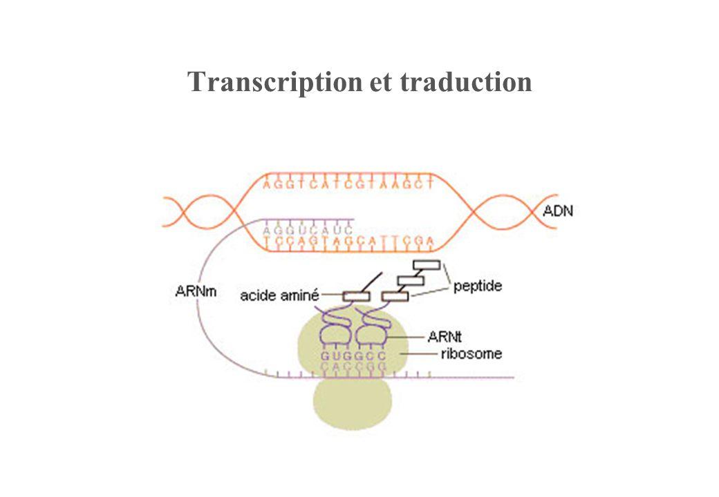Transcription et traduction