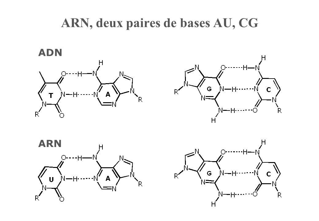 ARN, deux paires de bases AU, CG ADN ARN