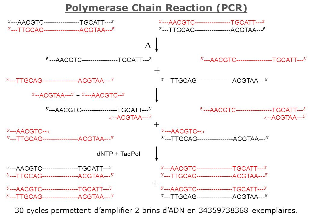 Polymerase Chain Reaction (PCR) 30 cycles permettent damplifier 2 brins dADN en 34359738368 exemplaires. 5 ---AACGTC-----------------TGCATT--- 3 3 ---